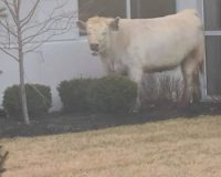 Cow Goes On The Lamb From Cops, Where It Ended Up Is Absolutely Hilarious